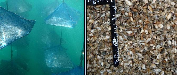 砂ゼロアサリ垂下養殖水中カメラ        砂ゼロ用に育てたアサリ稚貝…いやもう親貝に近い?