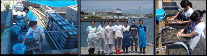 ラック式育成器の手入れ        志賀島水産振興グループ集合     稚貝の選別作業
