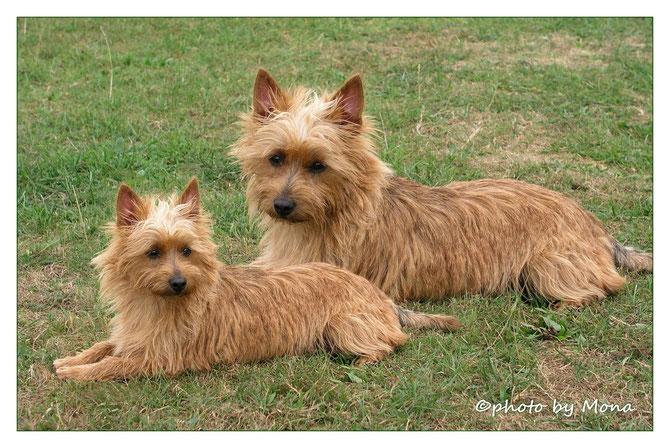 Australian Terrier Hündin Multi Ch. Cermie von den Grauen Anfurten