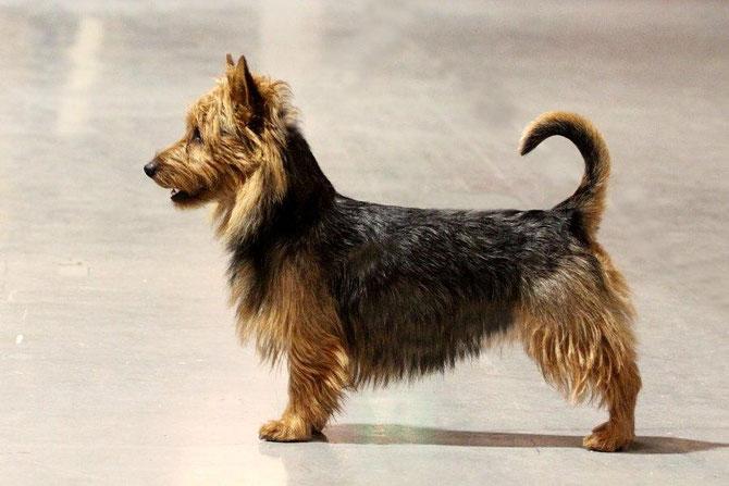 CACIB Utrecht, CAC+BOB ,Australian Terrier Rüde Haladin von den Grauen Anfurten