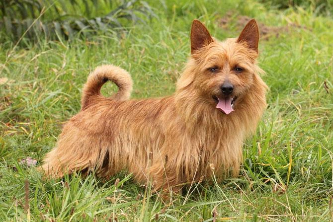 Australian Terrier Rüde Bobby-Lee von der Krabbenschmiede