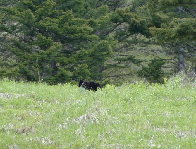 Kleiner Schwarzbär im Yellowstone Nationalpark
