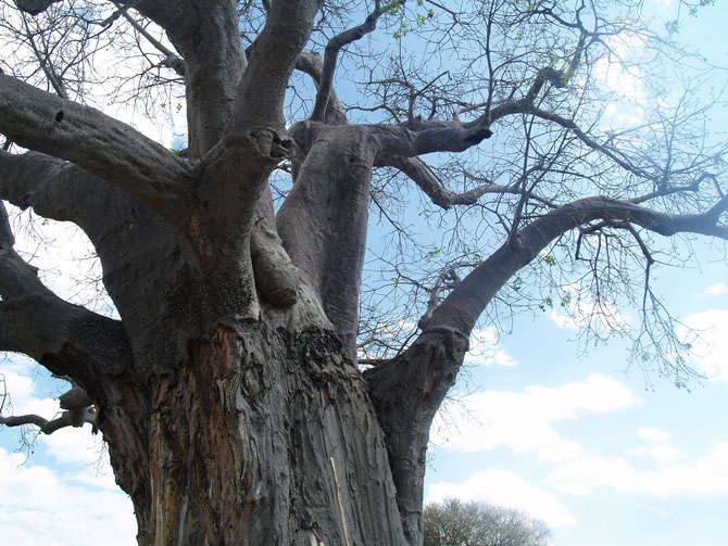 Serengeti, Affenbrotbaum, die Schäden an der Rinde werden von Elefanten verursacht, 28.09.2009