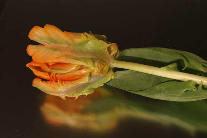 Tulpe auf Glas, Canon EOS 40D, F/6,3, 1/1, ISO 100 f=50mm, Milchglasscheibe auf Spiegel