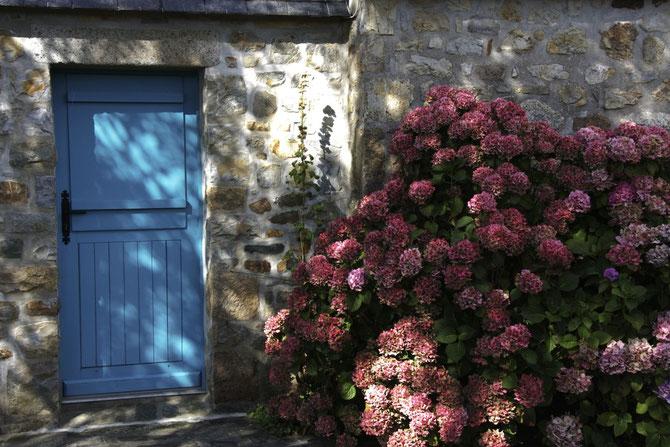 Hortensien, Crozon, Bretagne, 10.09.2013