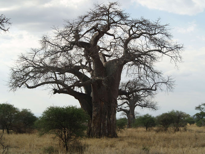 Affenbrotbaum, (Adansonia digitata), afrikanisch Baobab, Alter bis 1.000 Jahre