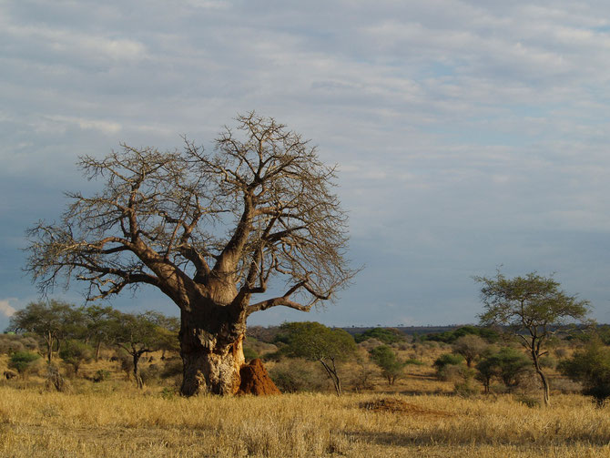 Affenbrotbaum, (Adansonia digitata), afrikanisch Baobab, Alter bis 1.000 Jahre mit Termitenhügel