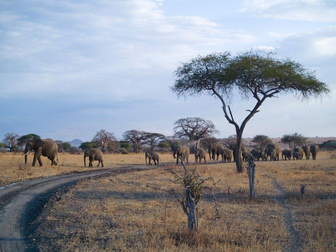 Serengeti, Schirmakazie, 28.09.2007
