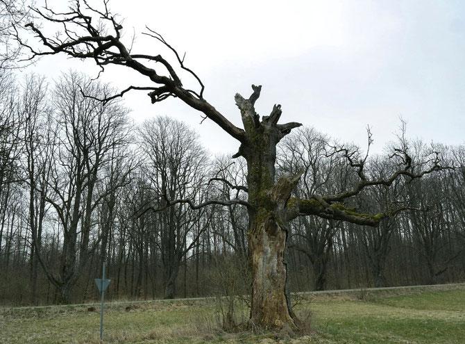 Eiche in den Schweizers Weiden bei Langenburg, 16.03.2014