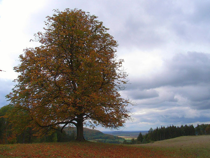 Buche am Weißen Berg bei Weißenburg am 14.10.2009 um 14:06 Uhr