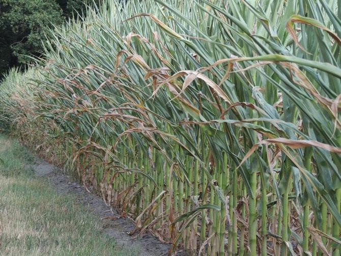 Dieses Maisfeld ist, wie viele andere auch,  schon ganz schön in Mitleidenschaft gezogen