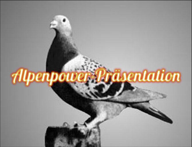 Die Silvervosje ist eine der Stammsäulen der wohl bekanntesten Weitstreckentauben-Stämme der Welt, die Jan Aarden-Tauben.