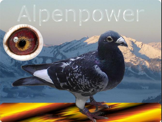 Ausnahme-Vogel Maximus hat als Jähriger die Alpen-Flüge absolviert, wurde wöchentlich von Italien aus trainiert und sammelte über 35´000 Trainings-Kilometer bis er als 2 jährige in die Zucht kam...