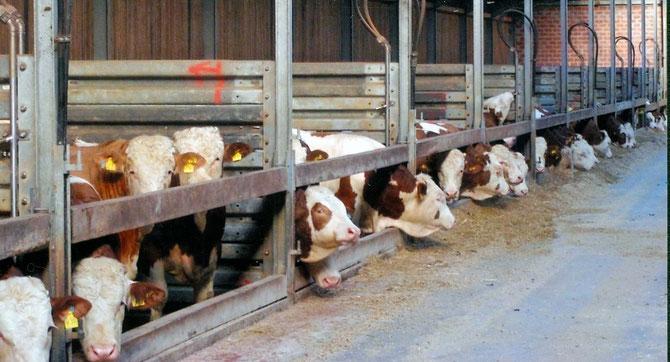 Tägliche Vermarktung von Schlachtvieh