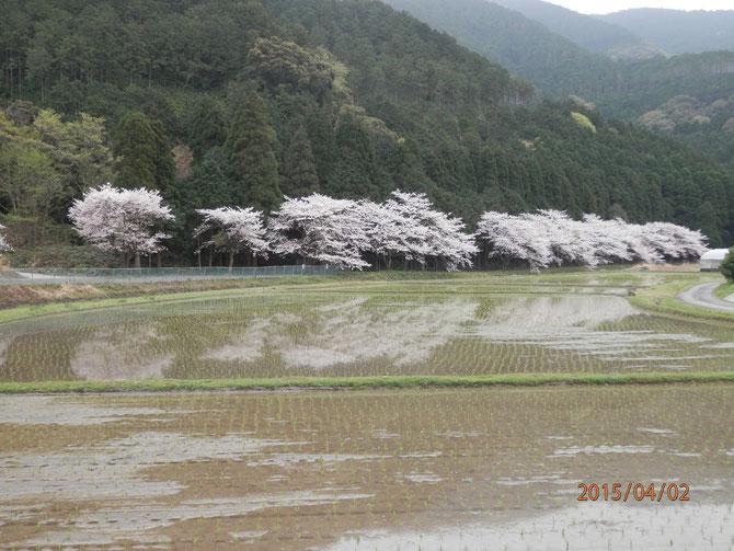2015年の桜と田植えの風景。