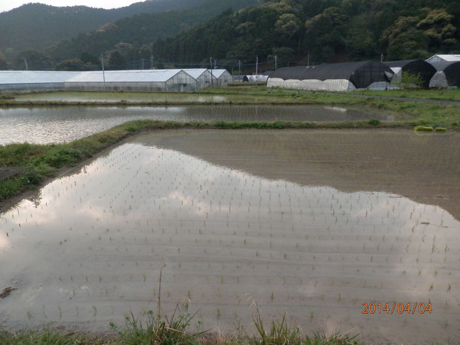 自宅の廻りの田植えの様子。早期米です。7月末から8月初頭に稲刈です。