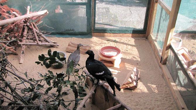Haltung Birkhühner