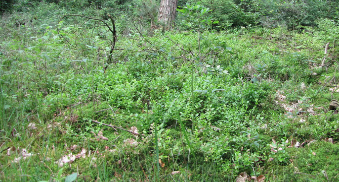 Blaubeeren Unterbewuchs Grünfutter für alle Rauhfußhühner