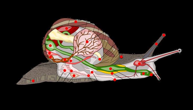 Anatomie de l'escargot. Observez les parties mâles et femelles de l'appareil reproducteur (rouge = appareil mâle et orange = appareil femelle). Source: wikipédia.