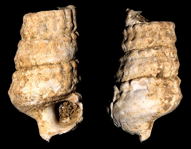 Potamides granosus, Macchia della Turchina (Monteromano, VT)