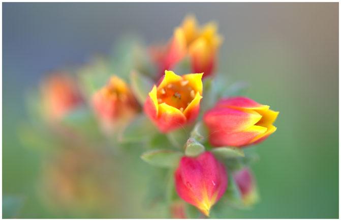 Des feuilles épaisses disposées en rosettes d'où s'élèvent des tiges porteuses de petites fleurs tubulaires trés colorées dans les tons rouge-orangé et jaune, voilà le description sommaire de cet echevéria, une crassulacée qui devrait vous plaire !