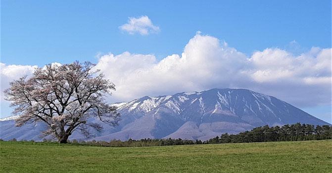 小岩井農場の一本桜と岩手山。今年も見事な姿を見せてくれました。2021/4/22撮影