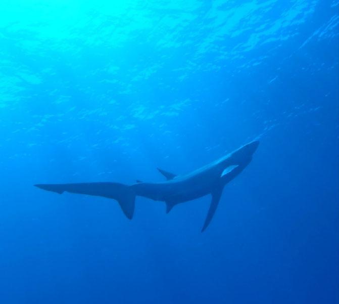 Blauhai vor der Insel Pico, Azoren, Portugal