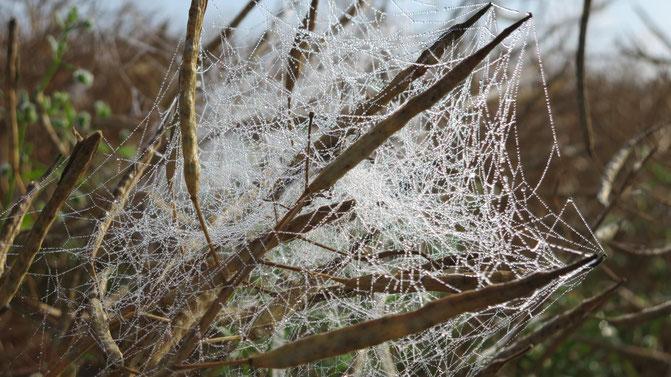 Altweibersommer Spinnweben Tautropfen Morgensonne