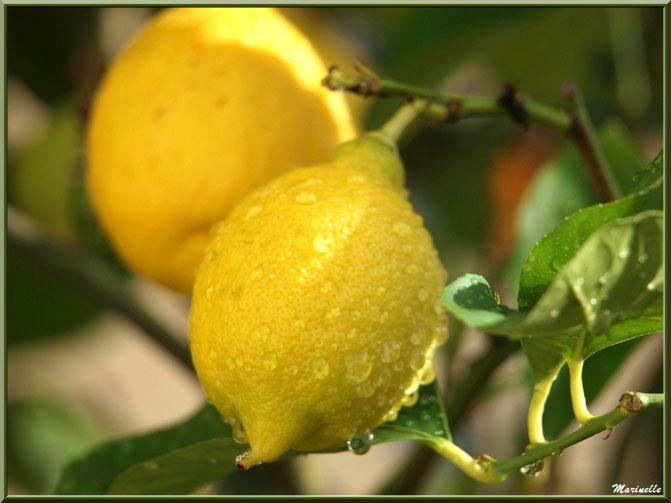 Citrons après ondée (au jardin)