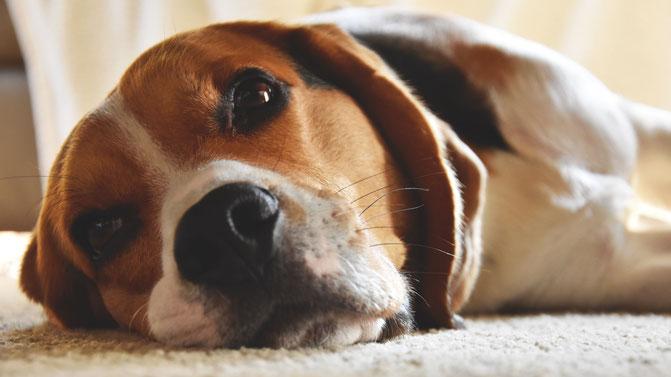 Arthrose bei Hunden - auch bei Arthrose gibt es Möglichkeiten Ihren Liebling zu helfen, um das Fortschreiten der Arthrose zur verlangsamen und die Schmerzen zu lindern.