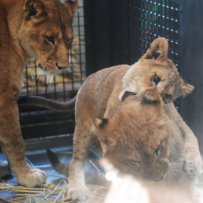 じゃれあうライオンの子どもたちと、後ろで見守る母ライオン