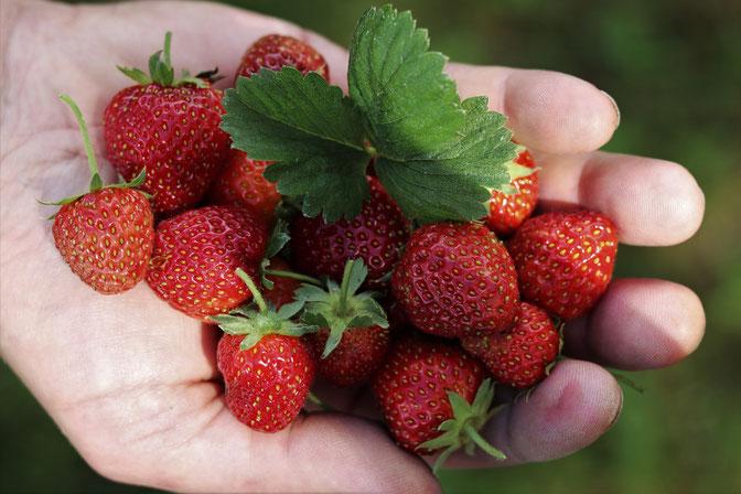 Erdbeeren aus dem Garten
