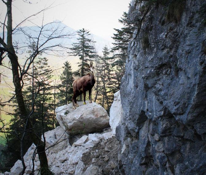 Schutzwald, Schutzwaldumfrage, Gams, Stoaschlog, Steinschlag
