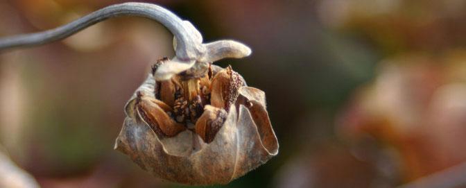Sarracenia Samen, Blüte Sarracenia, Samen Sarracenia, Sarracenia Samen, Samenstand Sarracenia, Fleischfressende Pflanze Samen, Samen Fleischfressende Pflanze, Samen Fliegenfalle, Fliegenfalle Samen, Samen Schlauchpflanze, Schlauchpflanze Samen
