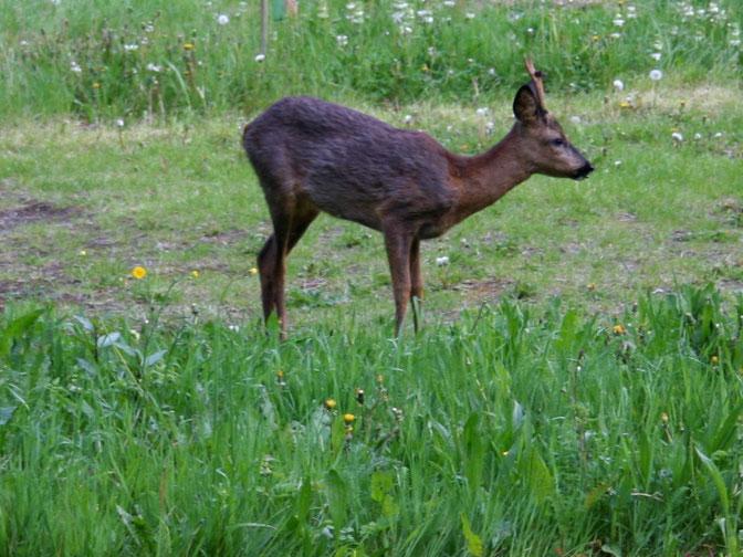 Nicht nur Rehe gehören zu den tierischen Gästen in unserem Garten