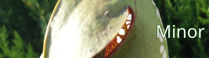 Sarracenia, Minor, Hybriden
