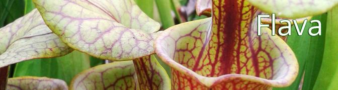 Sarracenia, Sarracenia Flava, Samen, Hybriden