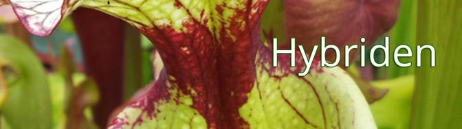 Sarracenia Hybriden, die Moorei 'Leah Wilkerson' und Moorei 'Adrian Slack' sind wohl mit die bekanntesten Vertreter.