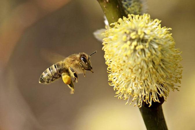Honigbiene, Apis mellifica