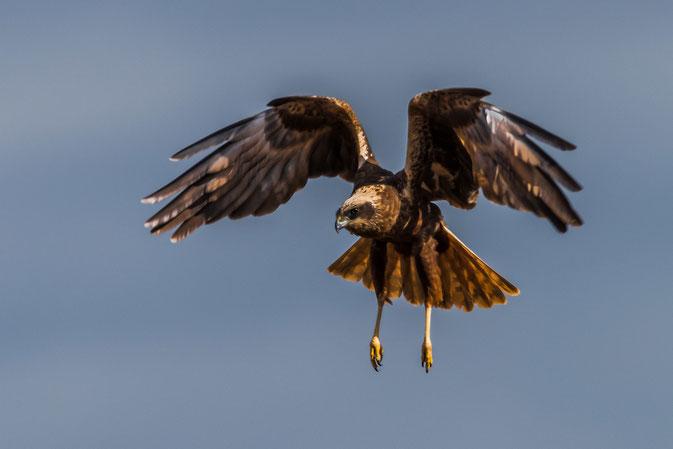 Rohrweihe im Anflug - der nordische Greifvogel gehört zu den Habichtartigen. Foto: Ib Dyhr.