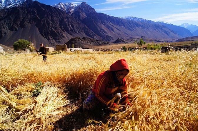 Selbst in Roshorv auf 3200 m wird im Bartangtal noch Weizen geerntet (Foto: Stefanie Kicherer)