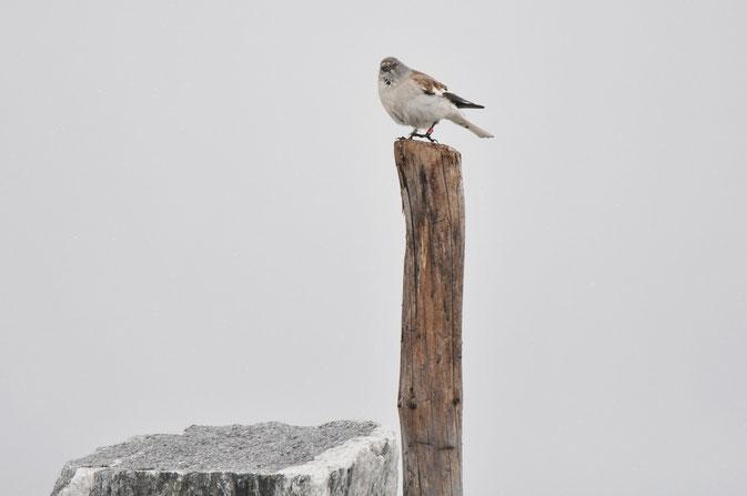 Ein Schneesperling, den ich letztes Jahr in Österreich sehen konnte