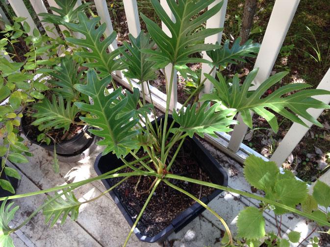 ベランダの観葉植物その一。