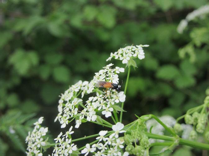 Blütenstand des Wiesenkerbels (Anthriscus sylvestris)