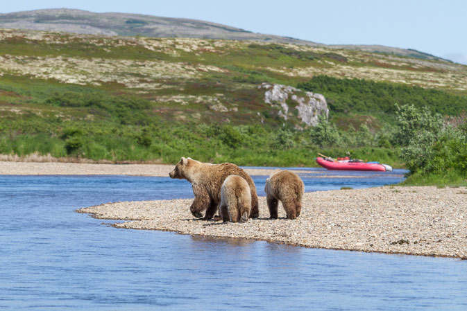 Brown Bears Moraine Creek Alaska