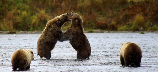 Kodiak Bear fighting Alaska, Karluk River