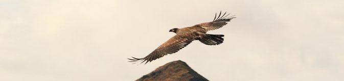 Golden Eagle Karluk