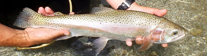 Fliegenfischen Österreich Angelreport, Flyfishing Austria, Milan Wutte, Vellach Regenbogenforelle, Rainbow, Orvis, Sage, Simms