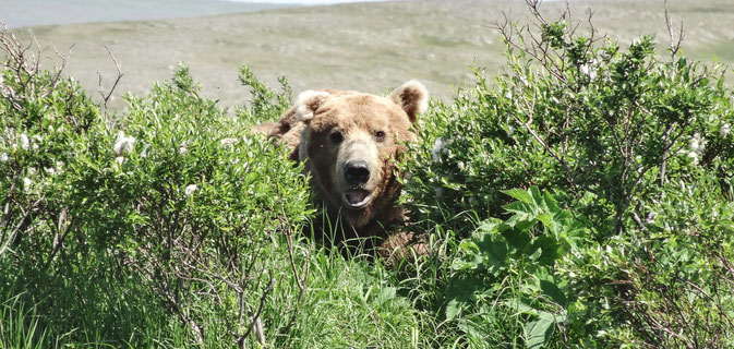 Brown Bear Moraine Creek Alaska