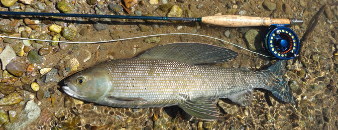 Arctic Grayling Funnel Creek Alaska